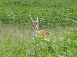 Deer in meadow